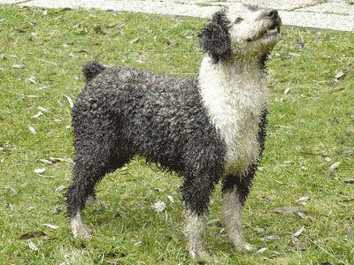spaanse waterhond, spaanse waterhonden, perro de agua espanol